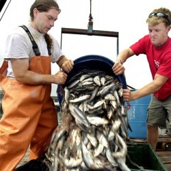 Herring fishery gets break on fixed-gear days
