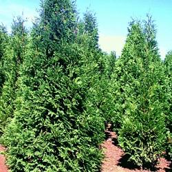 Redbud becomes a true ornamental tree