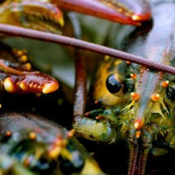 Decline in lobster market value last month dramatic