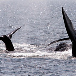 App aims to spare whales from ships in Atlantic