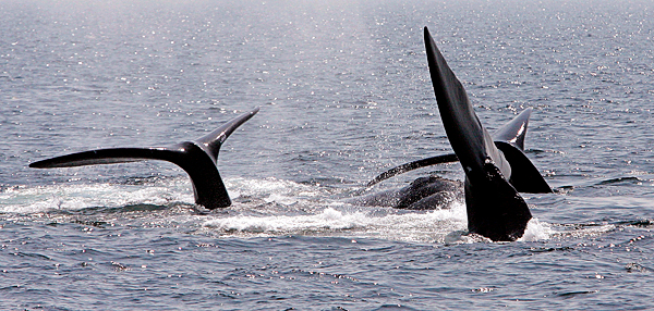 Three right whales appear to per-form a ballet near Provincetown, Mass., earlier this year.