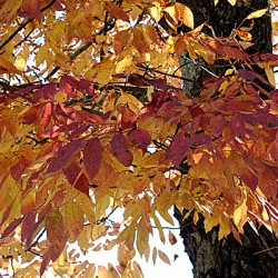 Silver maple embodies uncommon strength, grace
