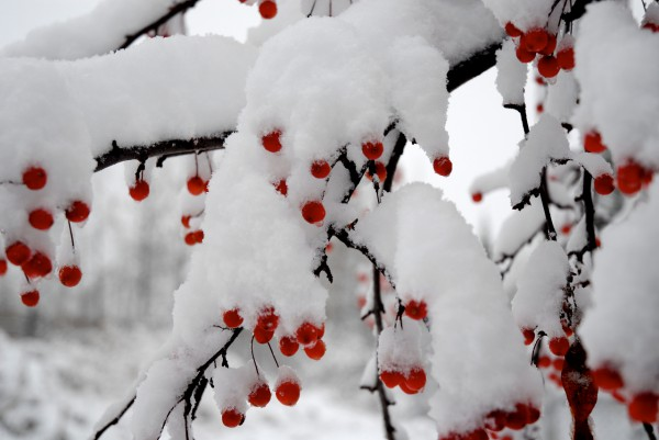 Morning snow on a dwarf apple tree in Fort Kent on Wednesday.  Buy Photo
