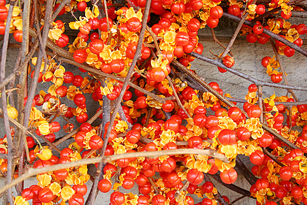 The seeds from Oriental bittersweet produce vines that smother and kill forest trees, changing native plant communities forever.  People contribute to seed dispersal by decorating with the fruits.