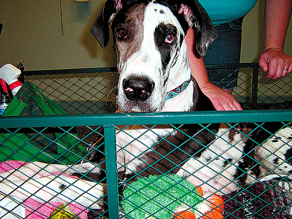 Tonka the Great Dane has be-come the mascot at the Women's Reentry Center in Bangor. The dog is partially paralyzed and cared for by center residents, some of whom are involved in training service dogs.  Buy Photo