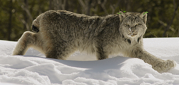 A Canada lynx regains its footing after research biologists administered a drug to counteract the effects of anesthetizing the animal.  Buy Photo
