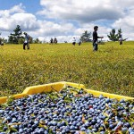 EMDC helping Maine blueberry growers, seasonal workers rake it in