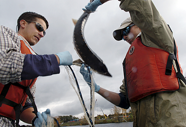 Sturgeon study nears end of first phase