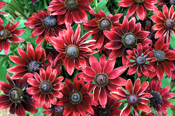 With its rich cherry-red blooms on robust, 24-inch-tall bush plants, Rudbeckia 'Cherry Brandy' is among the favorites for new flower varieties in 2009.