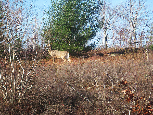 An eight-point buck appeared in Acadia on Nov. 1. Wildlife photos are part of every year's album.