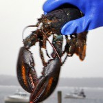 Lobster prices hold as catch remains high