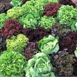 Perk up your salads with interesting lettuces you start outdoors from seed