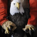 Bald eagles thriving in Maine, but health still studied