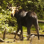 Take time to enter lottery for moose hunt