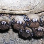 Prognosis for bats 'grim' as researchers in Maine, Northeast study killer fungus