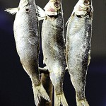 Herring catch cuts raise alarm