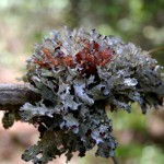 A Look at Lichens in the Winter Garden