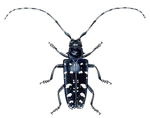 Current Events On The Asian Beetle In Maine 14