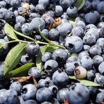 UMaine researcher finds wild blueberries may fight high blood pressure
