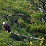 Seabirds declining as eagles in Maine recover