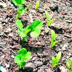 Cover crops, row covers on readers' minds
