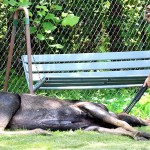 Moose euthanized on western Maine lake