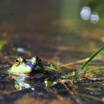Amphibians on the Move in Complex Landscapes