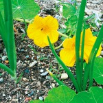 Include edible flowers in the vegetable garden