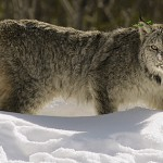Restrictions sought to protect lynx