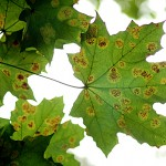 Maple leaves drop early due to wet spring