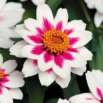 Despite its Spanish nickname, Zinnias are easy on the eyes