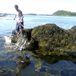 Sides divided on rockweed harvesting