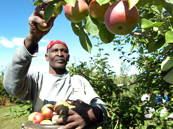 Albert Wilson from Clarendon, Jamaica picks MacIntosh apples for Rowe's House of Apples in Newport on Thursday, Sept. 17, 2009. Most apple producers, including Ed Buzanoski of Rowe's, are reporting a very bountiful year, with large, plump apples full of flavor. &quotAll that rain really created apples way above normal size,&quot Buzanoski said this week. (Bangor Daily News/Bridget Brown)