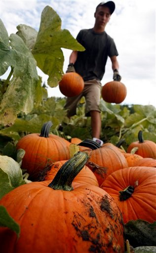 ** ADVANCE FOR WEEKEND EDITIONS, SEPT. 19-20 **Jake MacDougall, of Waterboro, harvests pumpkins in Hollis, Maine, on Monday, Sept.14, 2009. Many of New England's pumpkin growers lost much of their crop due to relentless rain in June and early July. (AP Photo/Pat Wellenbach)