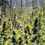$9M pot harvest still under investigation