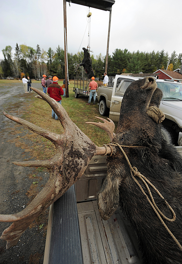 A bull moose rests in the back of a pickup truck after being tagged by a hunter, as spectators gather for the weighing of another bull moose at the Gateway Variety store in Ashland  on Monday, September 28, 2009. (Bangor Daily News/Kevin Bennett)