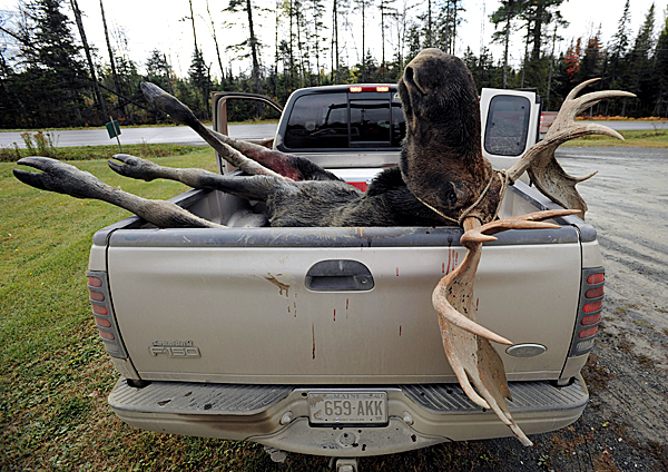A bull moose rests in the back of a pick up truck at the Gateway Variety store in Ashland after being weighed and tagged by a hunter on Monday, September 28, 2009. (Bangor Daily News/Kevin Bennett)