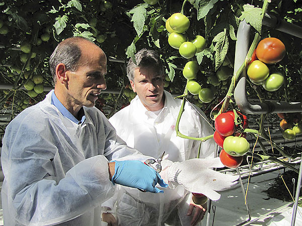 Gov. John Baldacci, left, prepares to cut a cluster of tomatoes from the vine Tuesday during a ceremony at Backyard Farms in Madison. The company, which produces vine-ripened tomatoes, was celebrating the first harvest from its new 18-acre greenhouse. Looking on is Backyard Farms President and CEO Roy Lubetkin.(Bangor Daily News/Christopher Cousins)