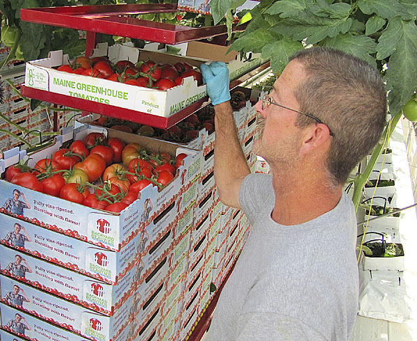 Backyard Farms employee John Duggan of Canaan transports cases of freshly picked &quotBackyard Beauties,&quot which are Backyard Farms' premiere product. The company recently added a second variety it calls cocktail tomatoes.(Bangor Daily News/Christopher Cousins)