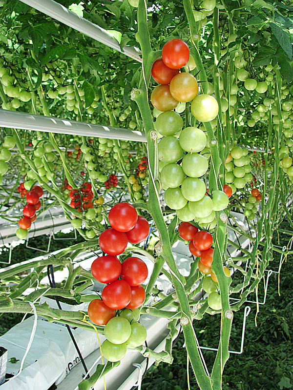 One reason Backyard Farms built a second greenhouse was to house a variety of tomatoes it calls cocktail tomatoes, shown above. (Bangor Daily News/Christopher Cousins)