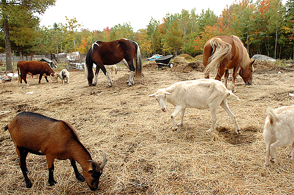 A menagerie of animals graze at the Downeast Equine & Large Animal Society in Cherryfield on Wednesday, Sept. 30, 2009. In addition to horses, the shelter is one of the only to take farm animals from turkeys and chickens to cows, goats and sheep. Owner Debbie McLain said she has had to turn down 40 to 50 animals in the last year. &quotI can't take any more and endanger what I have.&quot (Bangor Daily News/Bridget Brown)