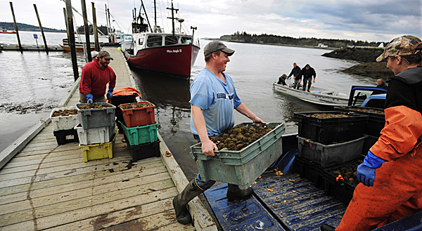 Urchin fisherman John Wallace, left, and his crew, Derek Lyons, center, and Daphne Savage, right, unload 23 crates of urchins on the dock in Lubec on Monday, Oct. 5, 2009.  Wallace sold his catch to one of many buyers waiting on the pier with refrigerated trucks, ready to wisk them off to market. (Bangor Daily News/Kevin Bennett)