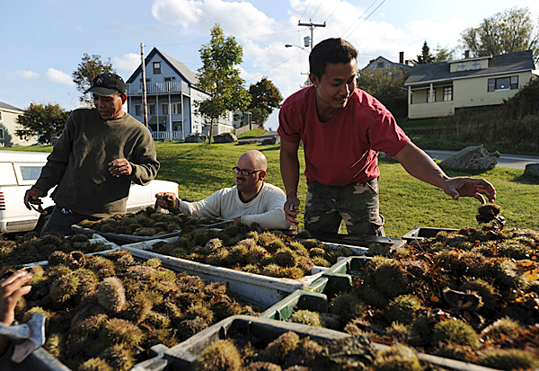 Urchin fisherman Joshua Lyons, center, watches as urchin buyers crack open samples to grade the roe as they swarm over his catch in the back of his pick-up truck on the pier at Lubec on Monday, Oct. 5, 2009, during the first day of urchin season. (Bangor Daily News/Kevin Bennett)