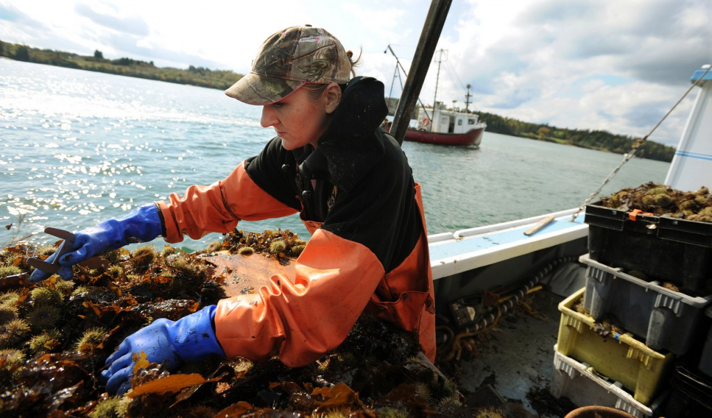 Sternman Daphne Savage sorts sea urchins on the back of her husband John Wallace's boat  &quotEndangered Species,&quot  while working the waters of Cobscook Bay near Lubec on the first day urchin season, Monday, October 5, 2009. (Bangor Daily News/Kevin Bennett)