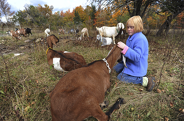 Abigal Carson of Maxfield pets one of Scott Belanger's milking goats during the 2nd Annual Open Creamery Day at Old Oak Farm in Maxsfield on Sunday, Oct. 11, 2009. Visitors got a first hand look at the creamery and how cheese is made and smoked. (Bangor Daily News/Kevin Bennett)