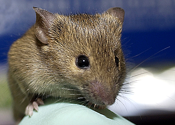 FOR MIKE MOORE STORY Mouse with Downs Syndrome at Jackson Lab. Bob DeLong Photo