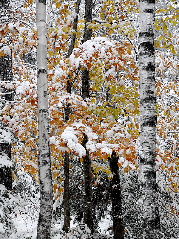 The season's first measurable snowfall in the St. John Valley covered the last of the autumn leaves Thursday afternoon. A snowfall accumulation of between four- and five-inches was expected by the time the storm wrapped up late Thursday night. (Julia Bayly photo)