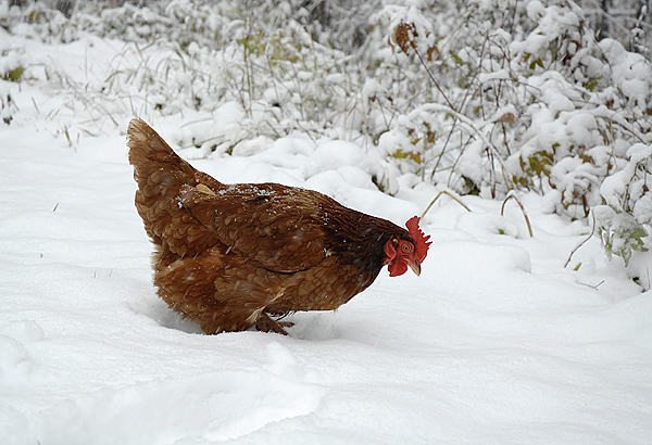 Hope springs eternal for a chicken in Fort Kent ranging for wild edibles under the season's first measurable snowfall. (Julia Bayly photo)