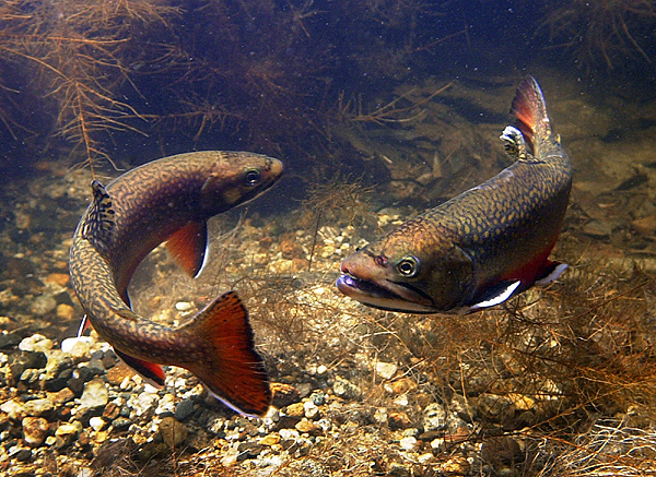 A larger male brook trout chases a smaller intruding male away from its spawning territory on the Pleasant River in Windham.  AP PHOTO BY ROBERT F. BUKATY