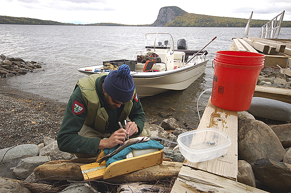 Maine Department of Inland Fisheries and Wildlife biologist Steve Seeback surgically implants a radio tag into a brook trout on Moosehead Lake in this fall of 2009 photo. (Photo courtesy of Bill Hanson/FPL Energy Maine Hydro)